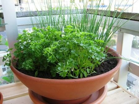 Parsley & chives in a terracotta pot. | The Micro Gardener