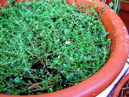 Thyme in a pot as living mulch | The Micro Gardener
