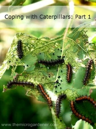 Caterpillars of Bordered Patch Butterfly