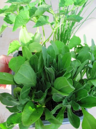 A variety of edible seedlings ready to plant out