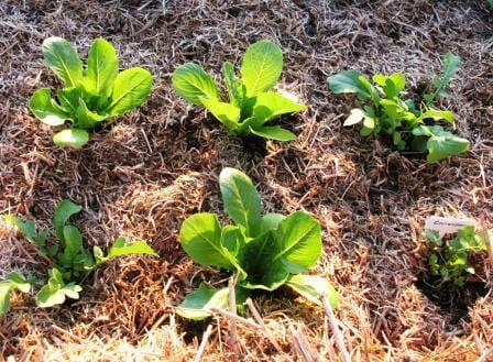 Sow fast growing greens for quick results like lettuce, rocket (arugula), Asian greens, spinach, sorrel or radish. Photo: The Micro Gardener