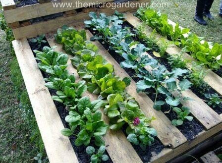 Veggie patch in a pallet garden | The Micro Gardener www.themicrogardener.com