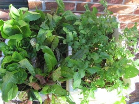 Two of my Instant Veggie Gardens with delicious leafy greens | Photo: The Micro Gardener