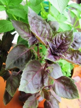 Purple basil with lemon basil | Photo: The Micro Gardener