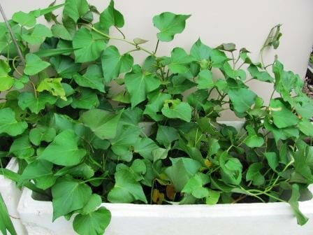 Sweet potatoes grow well in a box - leaf tips can be eaten as a green by steaming lightly. | Photo: The Micro Gardener