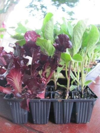 Veggie seedlings in punnet ready for planting | Photo: The Micro Gardener