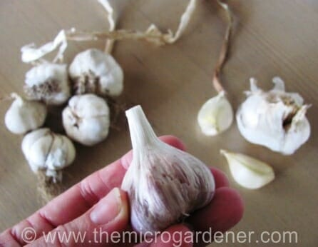 3 varieties of garlic: Purple, softneck & Russian | The Micro Gardener