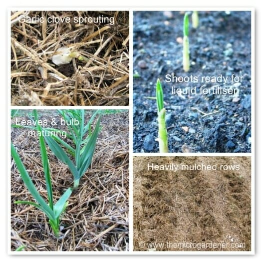 Garlic growing. | The Micro Gardener