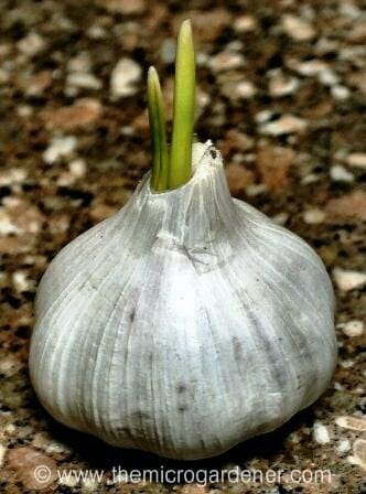 Garlic bulb shooting