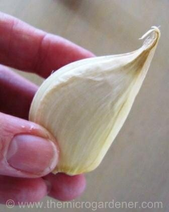 Garlic clove right side up