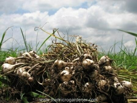 Abundant harvest of gorgeous garlic