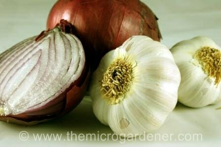 Garlic & onions belong to the Allium family