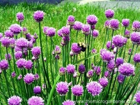 Purple garlic flowers