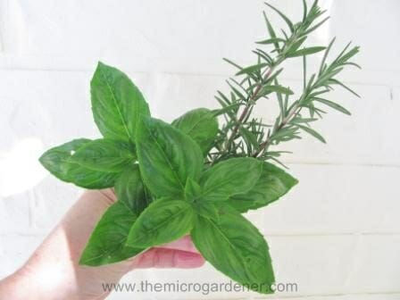Basil & rosemary | The Micro Gardener
