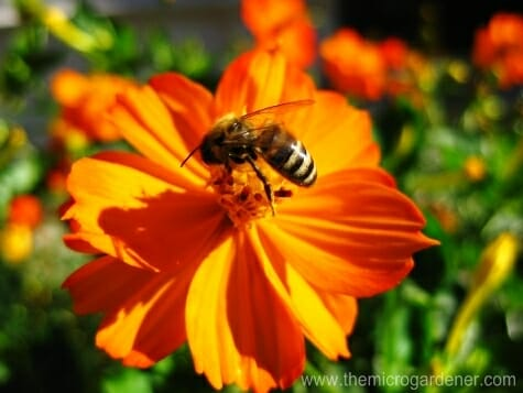 Bee feeding on Orange Cosmos flower, an excellent companion plant | The Micro Gardener