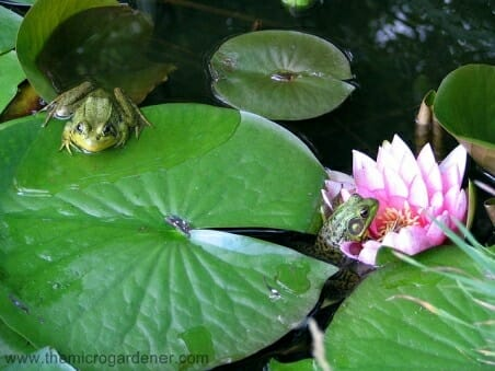 Frogs will take up residence even in a small pond. | The Micro Gardener