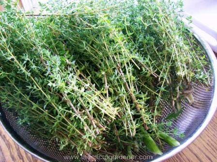 Bunches of thyme | The Micro Gardener