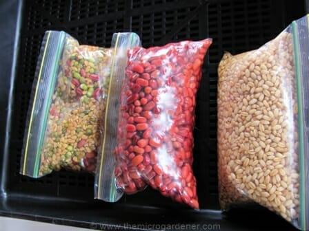 Large presoaked seeds ready for sowing | The Micro Gardener