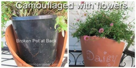 Broken terracotta cachepot with dwarf seaside daisy with back hidden against the wall. Front of pot used as a garden marker. | The Micro Gardener