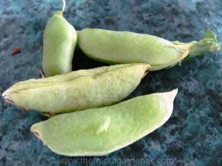 Plump fully mature sugar snap pea pods | The Micro Gardener