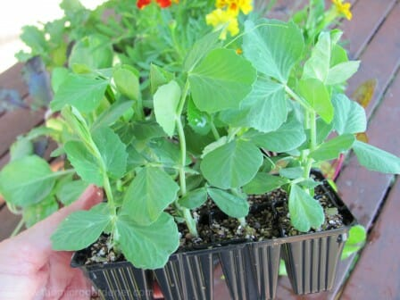 Sugar Snap Pea Seedlings - save time by planting seedlings if you have a short season. | The Micro Gardener