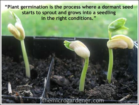 The miracle of seed germination: every seed contains all the food it needs to grow its first 2 true leaves.