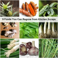 9 Foods You Can Regrow From Kitchen Scraps | The Micro Gardener