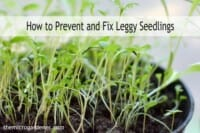 How-to-prevent-and-fix-leggy-seedlings-wm-label-e1459475906455