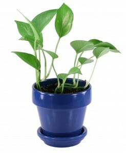 House or indoor plants do more than make us feel good - they clean our air!