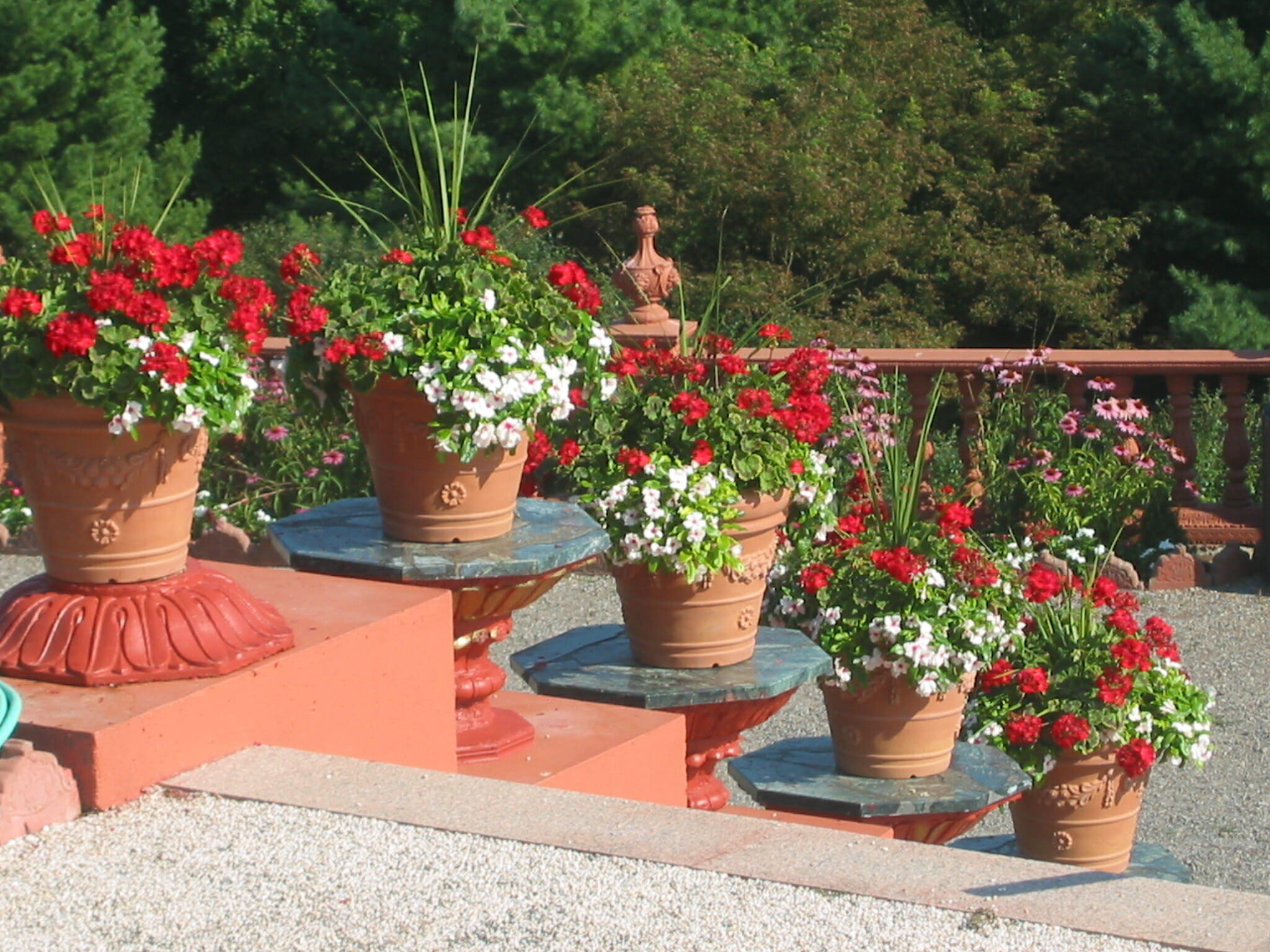 Repetition of colour with these potted geraniums makes a bold statement