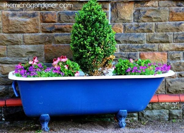 A repurposed blue bath tub planter with repeated flowers around a dwarf tree create an eye catching display