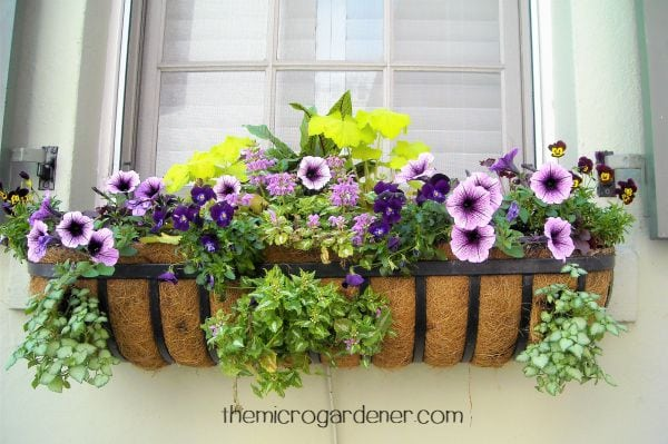 This feature window box planter has a simple contrasting purple theme with flowers selected in a thriller spiller and filler design
