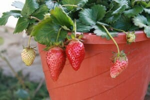 Strawberries are ready to harvest when they are full size and ripen to a dark red