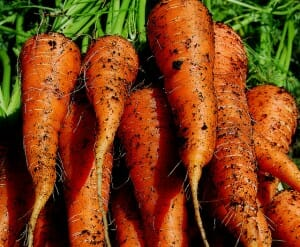 Nothing tastes so sweet as freshly harvested carrots
