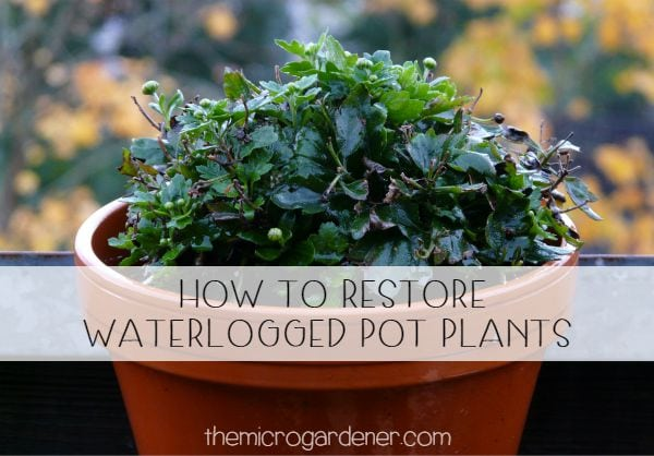 How to restore waterlogged pot plants + Solutions to save your plants from drowning, disease and contamination