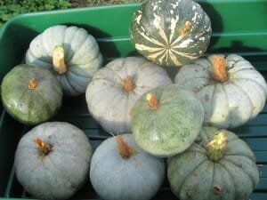 A variety of our home grown pumpkins