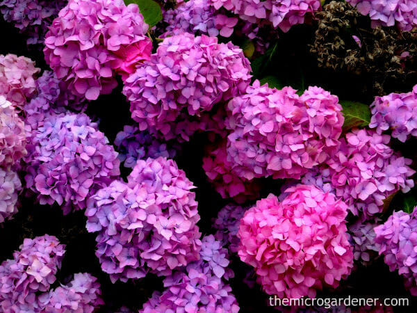how to grow hydrangeas  the micro gardener, Beautiful flower