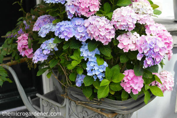 It's especially important to put extra attention into your soil for container grown hydrangeas. These 'babies' are totally dependent on you, their gardener 'parent'!