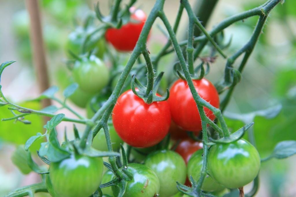 Frugal gardening how to get plants for free the micro gardener self sown tomatoes are volunteer plants fandeluxe Images