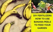 DIY Fertilisers - How to Use Banana Peels