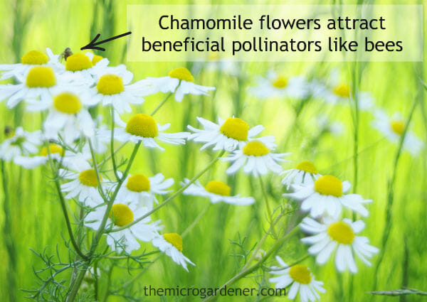 Herb tea garden - Chamomile flowers attract beneficial pollinators like bees