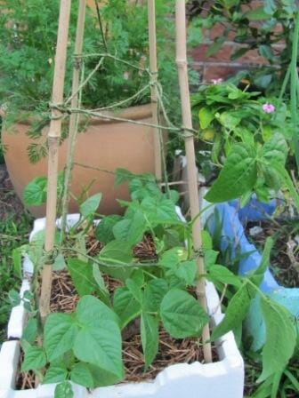 Wind extra string up the tepee for support - this helps aid air circulation as the plants grow.