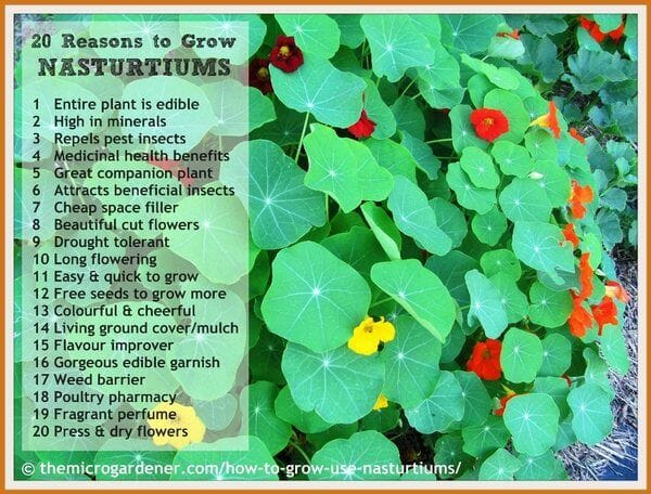 20 reasons to grow nasturtiums