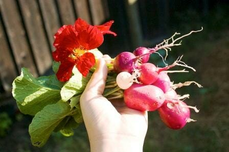 20 Uses for Nasturtiums: Nasturtium & radishes = great companions!