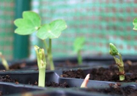 Nasturtium seeds germinating in pots