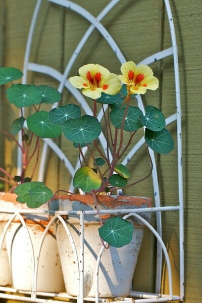 "Nasturtiums look great growing in a pot or in the garden. They're definitely on my ""Great Value Plants to Grow List""."