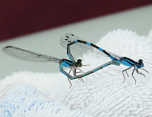 Damsel flies in love