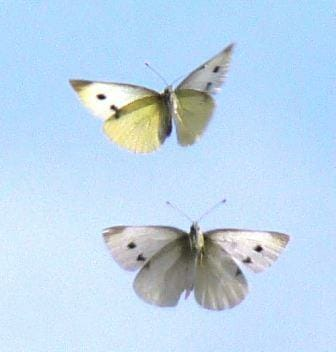 White cabbage butterflies in flight