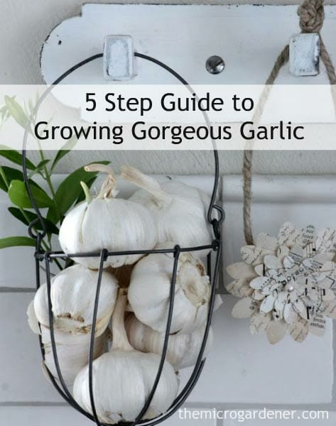 How to Grow Garlic - 5 Step Guide to Growing Gorgeous Garlic Tutorial