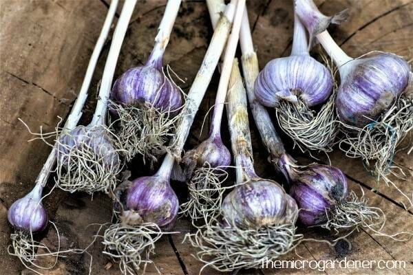 Leave soil on the bulbs until they are dry.